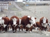 North Ridge Ranch Hereford Cattle