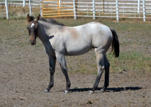 NRR Cat King Cole x Dual Blue Boon mare